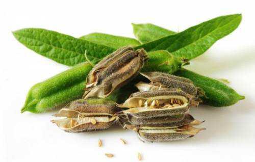 липа: полезные свойства листьев и цветков для организма человека